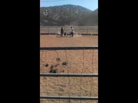 Rufus the Cowboy Corgi/ Heeler on his herding instinct test