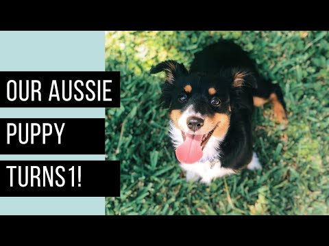 1 Year with Our Toy Aussie | Will make you cry