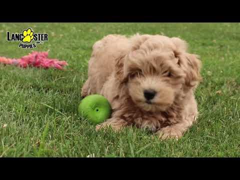 Morkie Poo Puppy