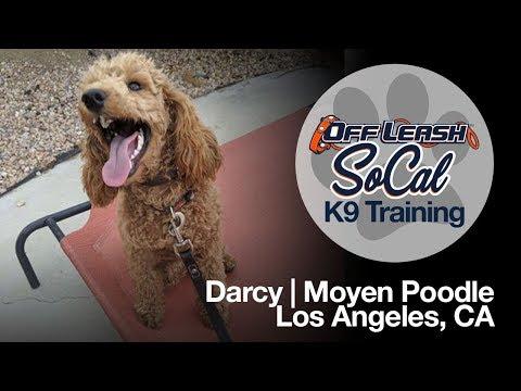 Moyen Poodle Off Leash Dog Training - Darcy | Los Angeles, CA | OffLeash SoCal
