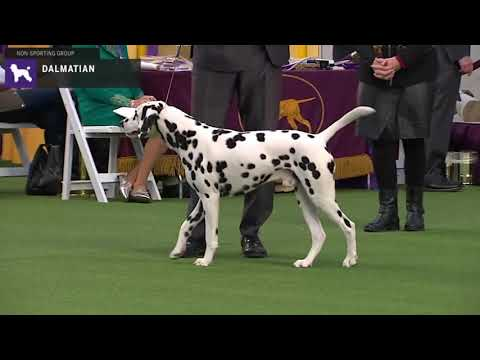 Dalmatians | Breed Judging 2020