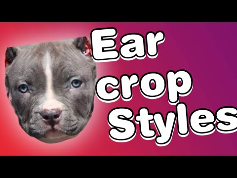Ear cropping styles for Pitbulls!