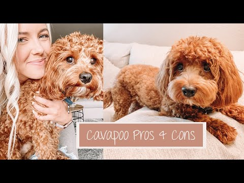 Pros & Cons Of The Cavapoo Breed | Archie The Cavapoo