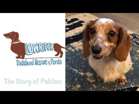 The story of Patches - Low Rider Dachshund Rescue FL