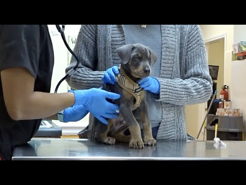BLUE DOBERMAN'S FIRST TIME AT THE VET | CUTE DOG VIDEOS