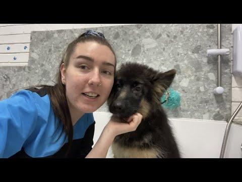 15 Week Old German Shepherd Puppy Grooming!!