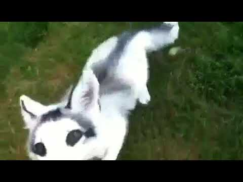 Adorable Marble Fox