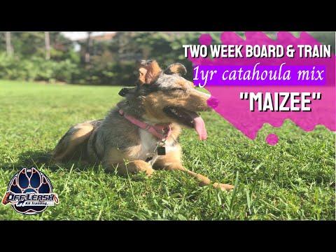 Maizee | 1yr Old Catahoula/Aussie Mix | Florida Dog Trainers
