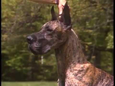 Great Dane - AKC Dog Breed Series