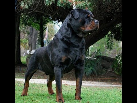 Von ruelmann Rottweilers day in the life of a German Rottweiler Breeder Episode 1