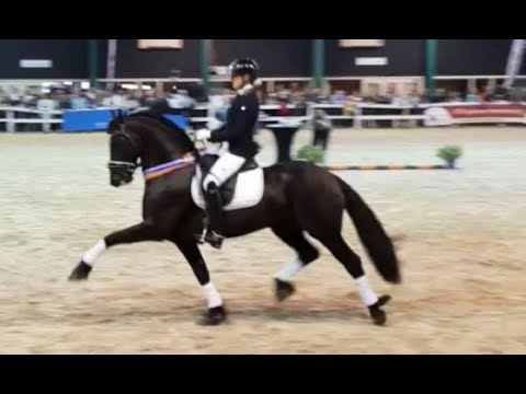Fantastic Friesian dressage Horse