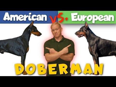 American vs. European Doberman: Which is Better?