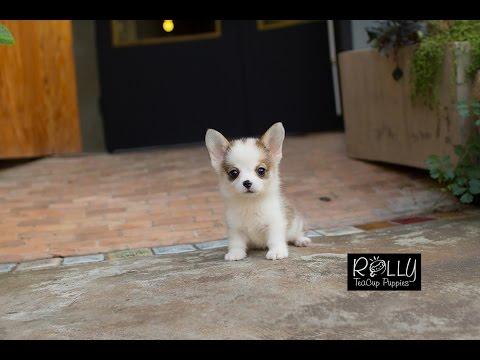 Real Living Teacup Corgi DOLL !! Hugo - Rolly Teacup Puppies