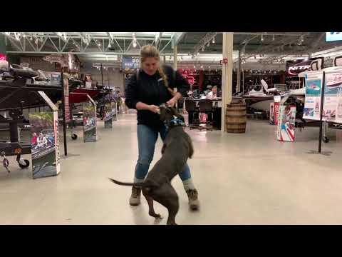 Best Dog Training Toledo, Ohio! 1.5 Year Old Pit Bull American Bulldog Mix, Rocco!