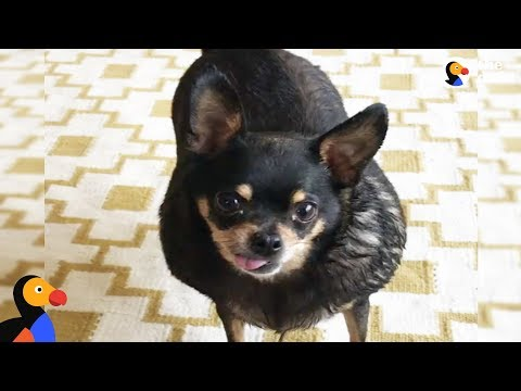 Overweight Chihuahua Finds The Perfect Mom To Help Her Get Healthy   The Dodo
