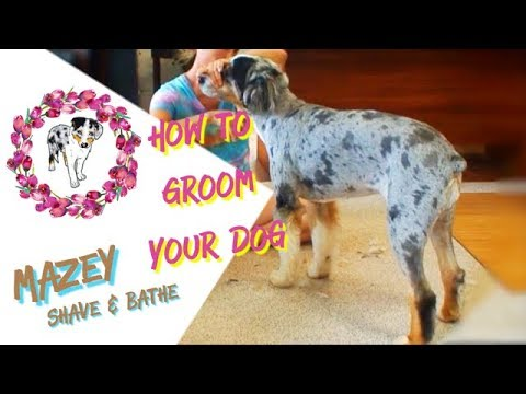 How To Groom A Dog | Shave and Bathe an Aussie