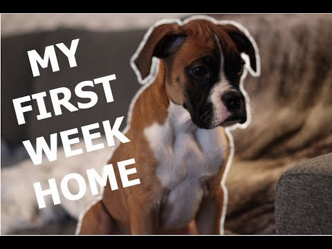 Boxer puppy's First Week Home.