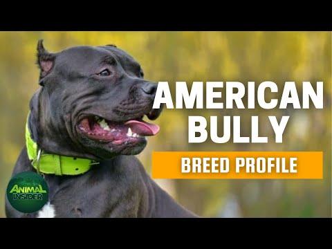 American Bully Dogs 101 - A Macho Yet Loving Canine Companion