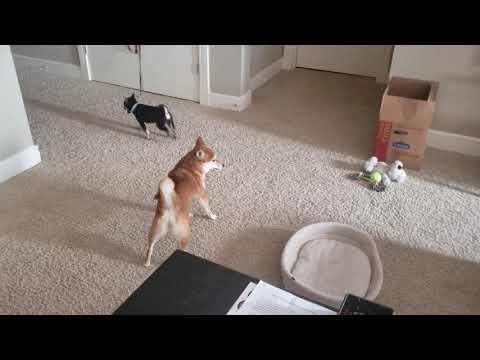 Shiba Inu Puppy Playing With Mame Shiba