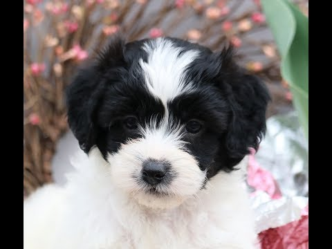 Shorkie Poo Puppies