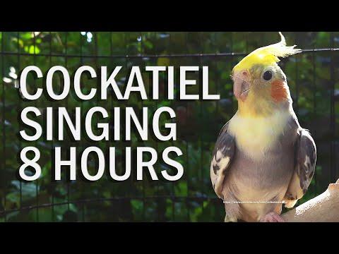 Pied Cockatiel Singing Sounds, Cockatiel Calls - Natural Songs