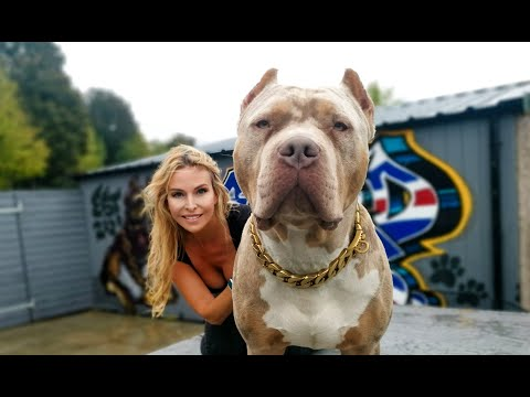 DANGEROUS? THE GIANT XL AMERICAN BULLY DOG
