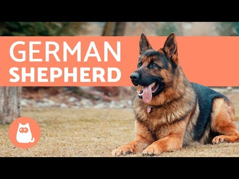 All about the German Shepherd - History, care & training
