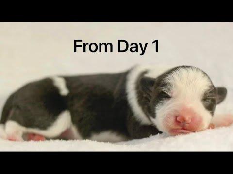 Raising my Border Collie Puppy up to 6 Months