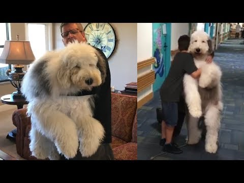 This Sheepadoodle Is The Fluffiest Therapy Dog Around