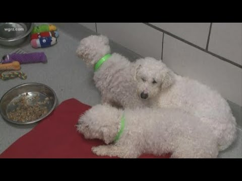 2 the Rescue: Rescued Bichons need homes