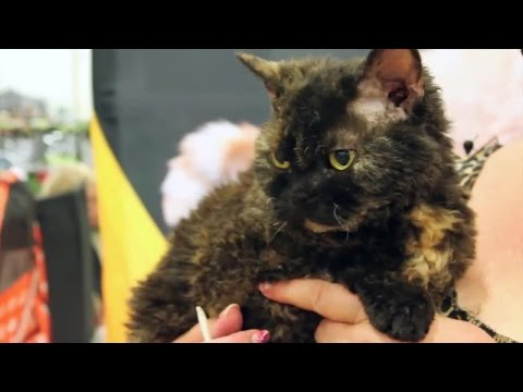 Get to Know the Selkirk Rex