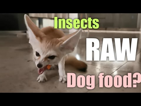 Top 5 Must-Knows About Fennec Fox Diet | Cat or Dog Food