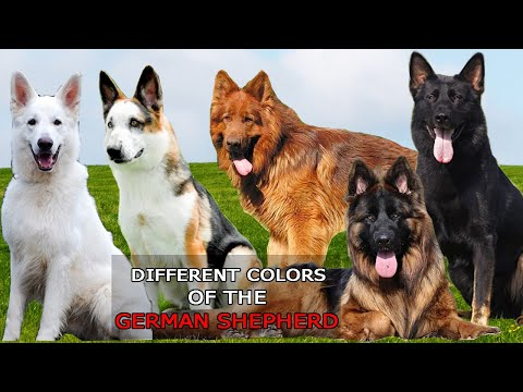 9 Different Colors of the German Shepherd Dog