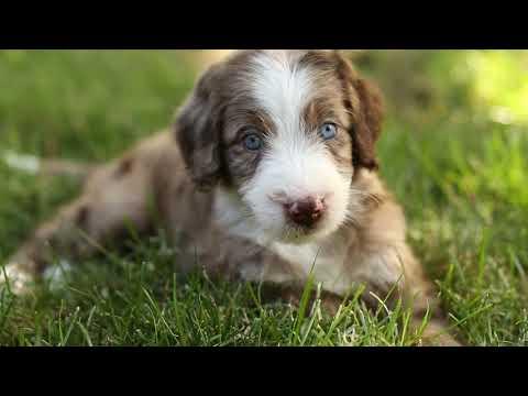 Aussiedoodle Puppies!