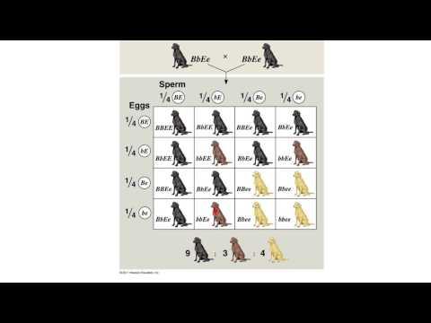 Genetics5-Coat Color Genetics of Labrador Retrievers