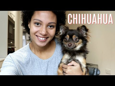 THE REALITY OF HAVING A CHIHUAHUA   Misconseptions about Chihuahuas uncovered