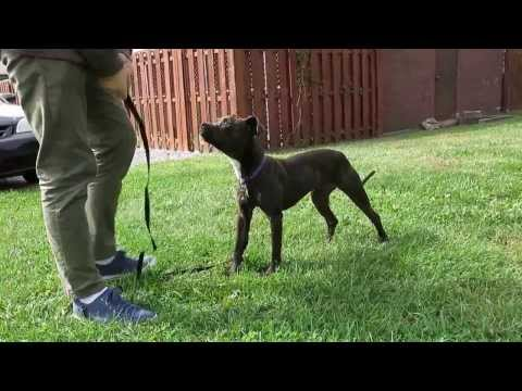 Meet Artemis, Boston Terrier/Pit Bull mix, rescued from quarantine and adopted