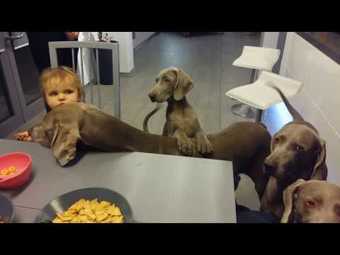 Weims and a baby