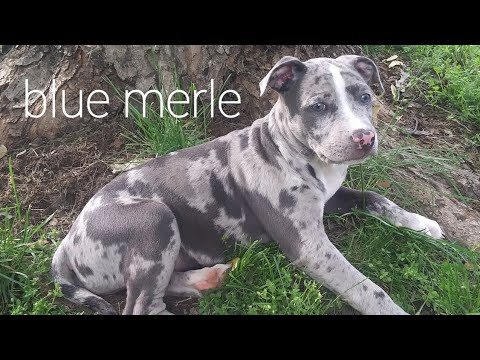 merle pitbull puppy (rare)