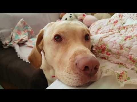 Yellow labrador Dudley