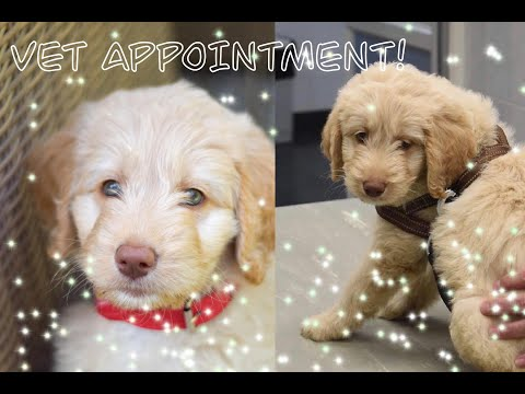 9 Week PUPPY check-up at the VET! | LABRADOODLE having a KONG for the first time!