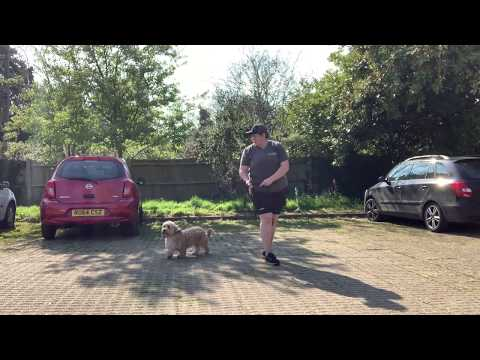 Cavapoochon | Oscar The Incredible | Dog Training in London
