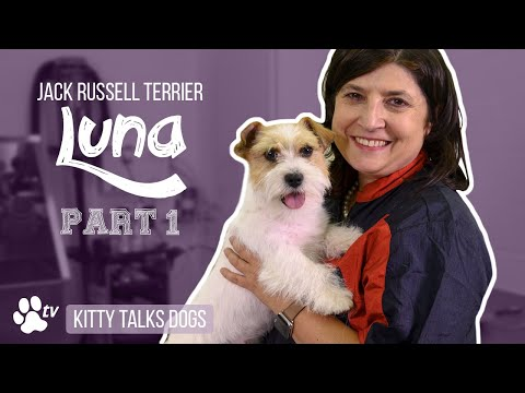 Grooming Luna the rough-coated Jack Russell Terrier - part 1 | Kitty Talks Dogs - TRANSGROOM