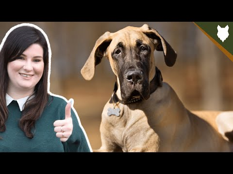 How Much Does A GREAT DANE Cost?