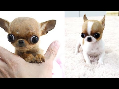 Cutest Teacup Chihuahua Puppies ❤️ Funny Chihuahua Dog Video Compilation