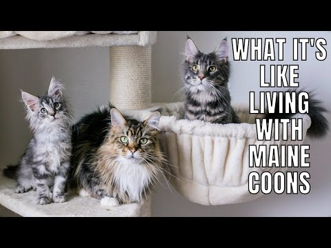 What It's Like Living with Maine Coons (Parts 1-3)