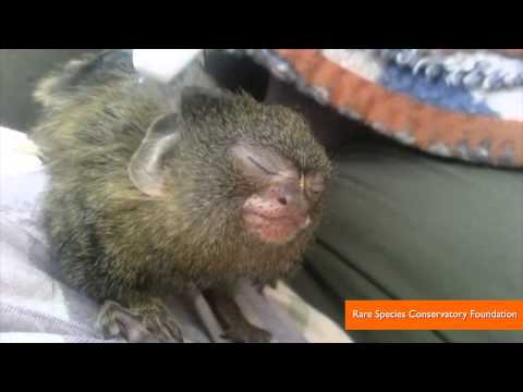 Pygmy Marmoset Getting a Toothbrush Massage is the Cutest