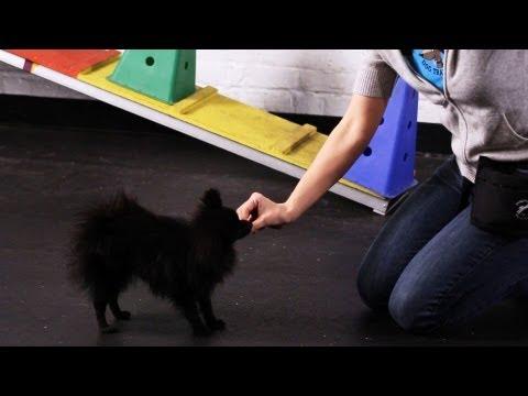 How to Teach a Pomeranian Tricks | Dog Tricks