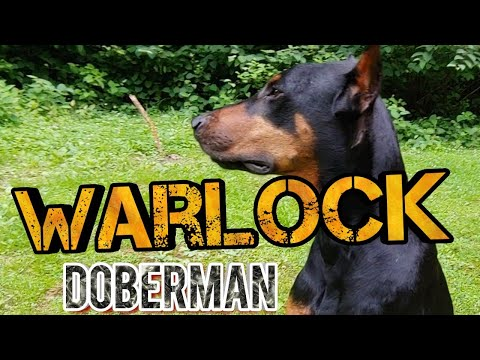 Warlock Doberman Pinscher - What are they?