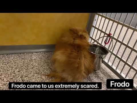 Extremely Scared Pomeranian Puppy Mill Rescue Finds Love After Rehab Returns His Trust in Humans